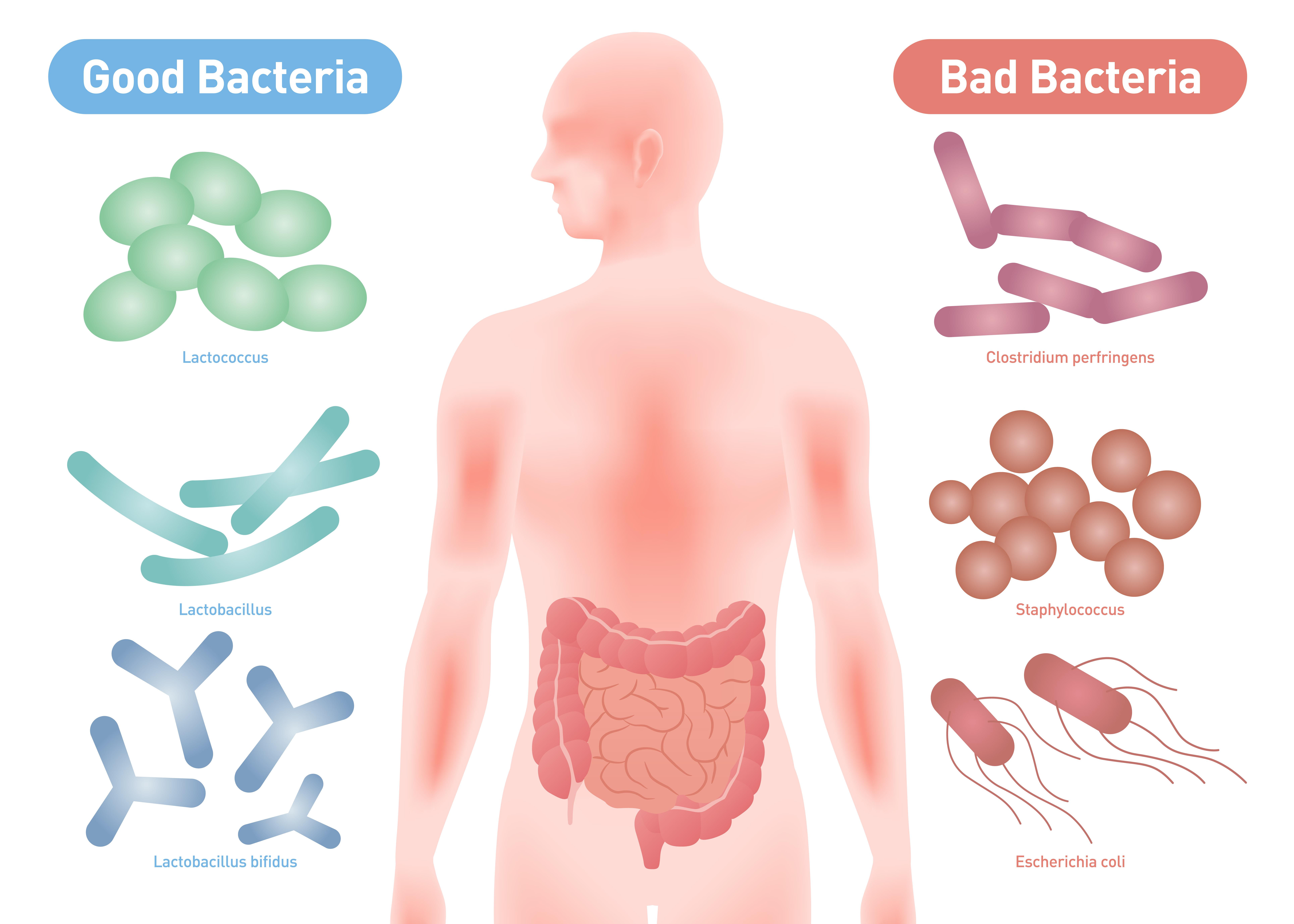 免疫力アップには善玉菌が重要