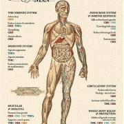 体の部位別に分かるカンナビノイドの作用