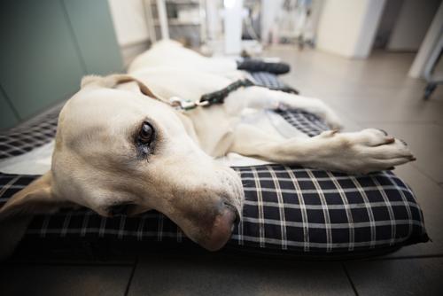 CBDオイル入りビスケットが愛犬の不安障害と関節炎に効果