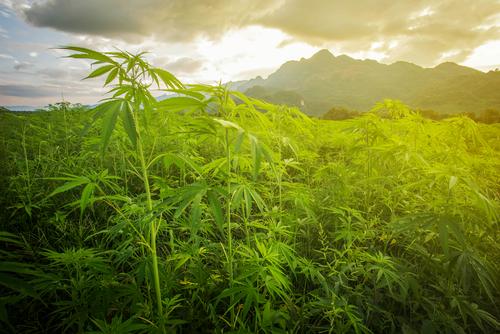 生薬としての大麻と天然カンナビノイド