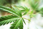 大麻は癌を治せるのか?オーストラリアで研究報告