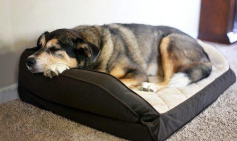 アメリカで人気!ペットの不安、関節炎予防&改善にCBDオイル